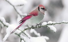 Pink Bird on Snow Branch, so beautiful. Pretty Birds, Love Birds, Beautiful Birds, Animals Beautiful, Exotic Birds, Colorful Birds, Hirsch Illustration, Animals And Pets, Cute Animals