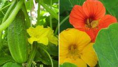 Így szabaduljunk meg a levéltetvektől természetes úton! | Hobbikert Magazin Balcony Garden, Permaculture, Garden Projects, Landscape, Fruit, Vegetables, Flowers, Outdoor, Gardening