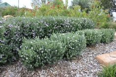 A perfect native compliment for Aussie Box, Westringia Grey Box is great for colour contrast against green plants with its grey foliage and flowering masses of white flowers from September through to May. Suitable for hedging, borders, containers or ma Australian Plants, Australian Garden, Rosemary Garden, Screen Plants, Low Maintenance Plants, Drought Tolerant Plants, Landscaping Plants, Native Plants, Hedges