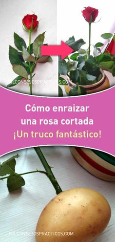 Cómo enraizar una rosa cortada. ¡Un truco fantástico! Mini Garden, Backyard Garden Diy, Pallet Garden Furniture, Planting Flowers, Succulents Garden, Rose Trees, Growing Roses, Growing Plants, Garden Projects