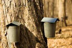 As operators of Funks Grove Pure Maple Sirup Farm in Shirley, Illinois, Mike and Debby Funk bring syrup from the tree to your table. Grove Farm, Toronto Houses, Sugaring, Maple Tree, Closer To Nature, Wine And Beer, Maple Syrup, Tour Guide, Farm Life