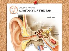 Normal versus infected middle ear (view of the TM) | Ear ...