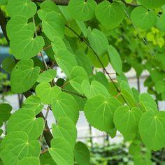 CERCIDIPHYLLUM JAPONICUM Katsura Tree  [28
