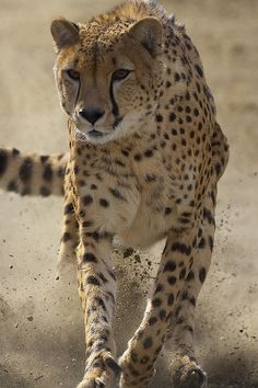 cheetah running. i thought this might look all burly!