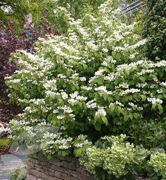 Buy Japanese snowball bush Viburnum plicatum 'f. tomentosum 'Mariesii' ': Delivery by Crocus