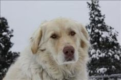 Maggie is an adoptable Great Pyrenees Dog in Cranbrook, BC.  Primary Color: Blonde Secondary Color: White Age: 2yrs 10mths 0wks  Animal has been Spayed...