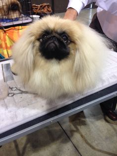 Pekingese dogs are the coolest. Pretty Cory