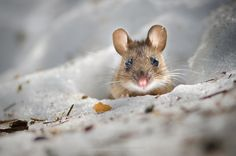 Yellow-necked mouse by Konsta Punkka / 500px