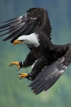 American Bald Eagle (Haliaeetus leucocephalus) is a bird of prey found in North America.