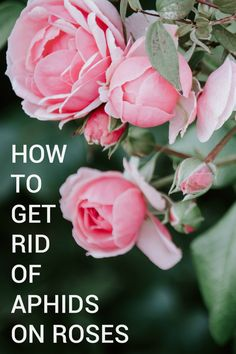 One of the most common thing that affects the growth of roses are aphids. So in this article, learn how to get rid of aphids on roses quickly and efficiently. Rose Plant Care, Rose Care, Rose Trees, Rose Leaves, Bugs On Roses, Rose Diseases, Get Rid Of Aphids, Cut Flower Garden, Roses Garden