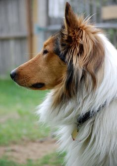 Old Time Scotch Collie - Thane of Sunnybank Welsh Sheepdog, Shetland Sheepdog Puppies, Collie Mix, Rough Collie, English Shepherd, Australian Shepherd, Dog Pictures, Animal Pictures, Scotch Collie