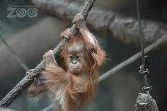 What does a six-month-old Sumatran Orangutan like to do? Climb, explore, and climb some more! Meet Asmara at the Fort Wayne Children's Zoo at ZooBorns.com and at http://www.zooborns.com/zooborns/2015/06/orangutan-fort-wayne-childrens-zoo.html