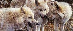Carl Brenders Tundra Summit Artic Wolves Print Internet Low | eBay