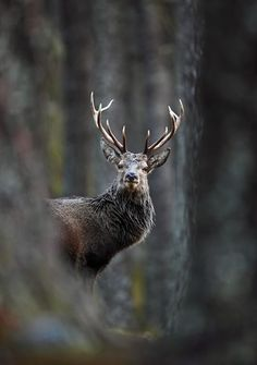 """Neil McIntyre, """"Red deer stag in pine forest"""""""