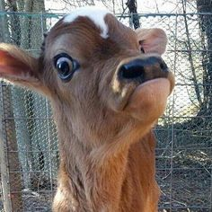 A scared calf who is probably one of the many abused farm animals. Cute Baby Cow, Baby Cows, Cute Cows, Baby Farm Animals, Baby Elephants, Cute Little Animals, Cute Funny Animals, Cute Animal Pictures, Funny Pictures