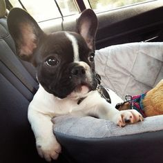 French Bulldog Puppy #Buldog