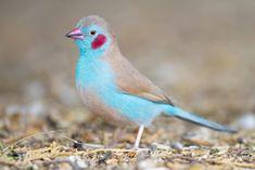 El azulito de Senegal es un ave de tamaño pequeño, puede llegar a medir hasta 11 cm, es tímido, muy pacífico, su nombre científico es Uraeginthus Bengalas. Tiene su origen en Africa del Sur, en Senegal