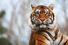 Sumatran Tiger by PeteLatham.deviantart.com on @deviantART