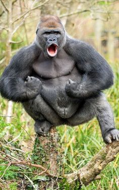 08 April 2016 - The Macho Ape, a critically-endangered Western Lowland Gorilla balances on a branch and beats its chest, roaring as it watches over the contractors working on improving the zoo. The male gorilla N'Dowe is in his enclosure at ho Primates, Mammals, Rare Animals, Animals And Pets, Funny Animals, Strange Animals, Silverback Gorilla, Chimpanzee, Gorilla Gorilla