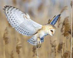 Barn Owl, Symbol of Goddess Athena