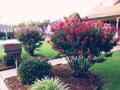 crepe myrtle landscaping garden
