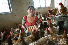 In this photo of the week, entrepreneur Sharmila Shakya gathers eggs in her hen house in Nepal's Chainpur Village.   Thanks to Heifer and her involvement in a local women's group, Sharmila has been able to invest in 250 chickens. The profit from these animals is allowing her to fund the education of her two children (ages 14 and 17) and begin cultivating new crops.