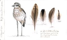 Matteo Grilli Wildlife Art: Meeting the Bush Stone-curlew Bird Artwork, Nature Artwork, Hope Is The Thing With Feathers, Nature Sketch, Altered Book Art, Urban Nature, Bird Drawings, Drawing Birds, Animals
