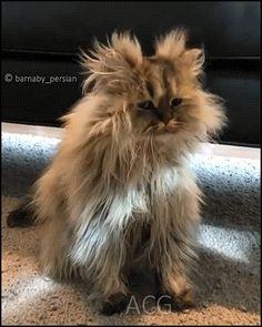 ACG • Fluffy persian Cat needs a good hair stylist his hair is so messy haha