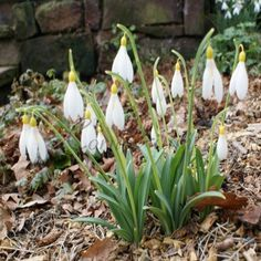 Out of all of the yellow plicatus snowdrops, this cultivar is the quickest and easiest to grow.  A real good-doer who always catches our eye when we are out in the garden.  Rarely offered.  Price per single bulb.