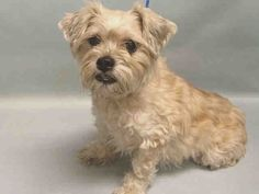 SUPER URGENT- OWNER DIED!* SYS – A1098496 FEMALE, TAN, SHIH TZU MIX, 10 yrs STRAY –OWNER DIED