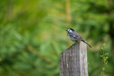 birds (02) - White Wagtail by Vlado Ferencic on 500px