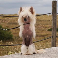 Chinese Crested Dog  https://www.facebook.com/profile.php?id=100008148399068