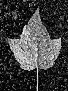 Fallen Leaf with Raindrops (PA237722)