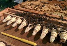 Raising Queen Bees #beekeepingideas #raisingbees