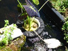 The floating taro plant.