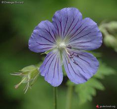 Geranium collinum (Tien Shan)