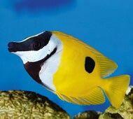Rabbit fish..