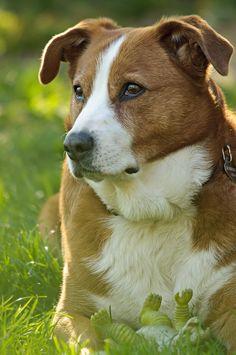 Austrian Pinscher / Österreichischer Pinscher / Österreichischer Kurzhaarpinscher / Austrian Shorthaired Pinscher #Dpgs #Puppy