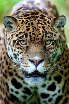 Jaguar - Nat Geo Wild ...........click here to find out more http://googydog.com