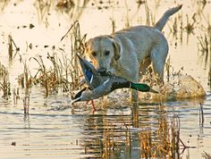 dog retrieving water fowl from pond | ... for your waterfowl hunting channel at mackspw locations the ducks leg