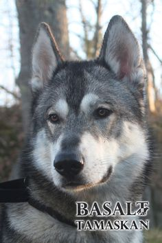 Pictures of Tamaskan Dog Dog Breed
