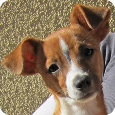 Wallace Spearmon, Jack Russell Terrier/Chihuahua Mix at ARF Jack Russell Chihuahua Mix, Jack Russell Terrier, Dog Pictures, Cute Pictures, Chihuahua Terrier, Cute Little Dogs, Jack Russells, Chihuahuas, Chihuahua