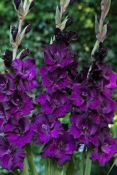 Gladiolus Flower Bulbs - Purple Flora - Bag of Mid Summer/Purple Flowers, Eden Brothers Gladiolus Flower, Purple Flowers, Bulb Flowers, Pretty Flowers, Trees To Plant, Perennials, Plants, Planting Flowers, Purple Garden