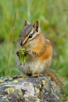 Merriam's chipmunk (Neotamias merriami) is found in central and southern California. in the United States and a small area in northern Baja California, Mexico.