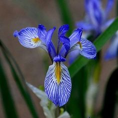 50+ Wild Blue Iris Missouriensis Flower Seeds , Under The Sun Seeds