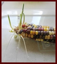 {Preschool Powol Packets}: Thanksgiving Preschool Science Experiment with Indian/Native American corn.