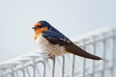 The Welcome Swallow (Hirundo neoxena) is a small passerine bird in the swallow family found in Australia and nearby islands, including New Zealand. It is about 15 cm (6 in) long, metallic blue-black in colour above, light grey below on the breast and belly, and rusty on the forehead, throat and upper breast.    Photo: JJ Harrison     File:Hirundo neoxena risdon.jpg