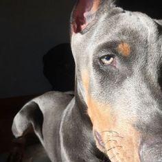 Doberman Colors, Doberman Love, Cute Dog Memes, Funny Dogs, Cute Cats And Dogs, Cute Dogs And Puppies, Cute Dogs Breeds, Dog Breeds, Pet Camera