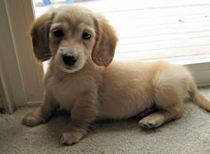 Miniature golden retriever (dashund mixed with golden) super cute but then I want it to not shed so then I want to mix this dog with a shih tzu to create the perfect dog...a girl can dream!