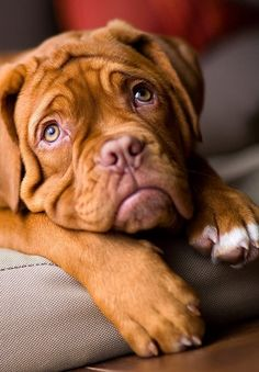 Dogue de bordeaux. Awww look at those sweet heart melting puppy dog eyes!
